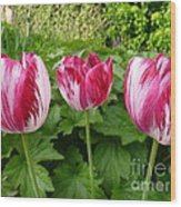 Three Pink Rembrandt Tulips Wood Print