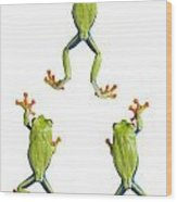 Three Red Eyed Tree Frogs Climbing Wood Print