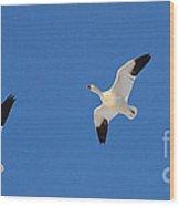 Three Snow Geese Wood Print
