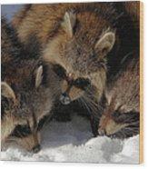 Three Sweet Raccoons Wood Print
