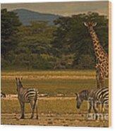 Three Zebras And A Giraffe Wood Print