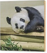 Tian Tian The Giant Panda Wood Print