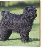 Tibetan Terrier Dog Standing Wood Print