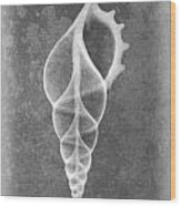 Tibia Sea Shell X-ray Art Wood Print