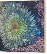 Tide Pool Sea Anemone Wood Print