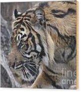 Sumatran Tiger-5418 Wood Print