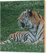 Tiger At Rest 4 Wood Print