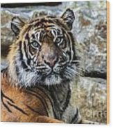 Tiger Facing The Crowd Wood Print
