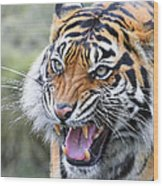 Tiger Growl Wood Print