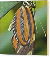 Tiger Mimic Queen Butterfly Wood Print