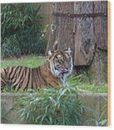 Tiger Resting Wood Print