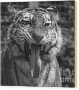 Tiger Say Aw Wood Print
