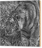 Tiger Stalking In Black And White Wood Print