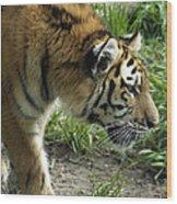 Tiger Stalking Wood Print