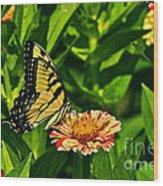 Tiger Swallowtail And Peppermint Stick Zinnias Wood Print