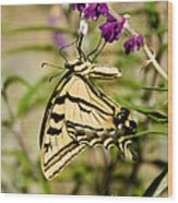 Tiger Swallowtail Butterfly Feeding Wood Print