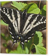 Tiger Swallowtail Butterfly Wood Print