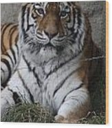Tiger Waits Wood Print