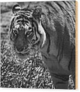 Tiger With A Cold Stare Wood Print