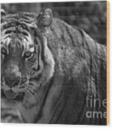 Tiger With A Fixed Stare Wood Print
