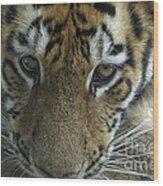 Tiger You Looking At Me Wood Print