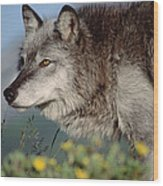 Timber Wolf Adult Portrait North America Wood Print