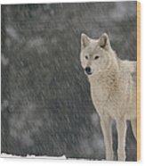Timber Wolf Female North America Wood Print