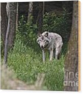 Timber Wolf In Forest Wood Print