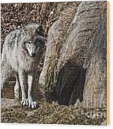 Timber Wolf In Pond Wood Print