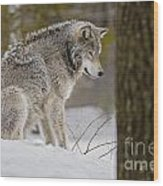 Timber Wolf In Snow Wood Print