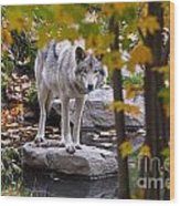 Timber Wolf On Rock Wood Print