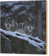 Timber Wolf Pictures 1233 Wood Print