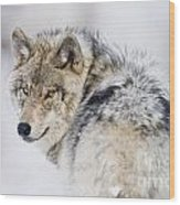 Timber Wolf Pictures 1268 Wood Print