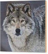 Timber Wolf Pictures 1271 Wood Print