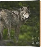 Timber Wolf Pictures 1336 Wood Print