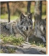 Timber Wolf Pictures 1363 Wood Print