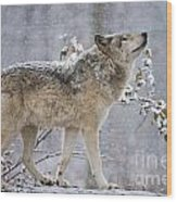 Timber Wolf Pictures 1401 Wood Print