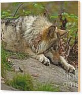 Timber Wolf Pictures 1646 Wood Print