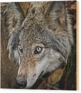 Timber Wolf Pictures 1660 Wood Print