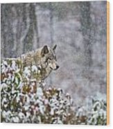 Timber Wolf Pictures 186 Wood Print