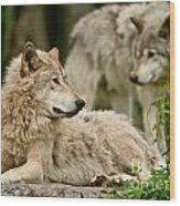 Timber Wolf Pictures 192 Wood Print