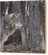 Timber Wolf Pictures 203 Wood Print