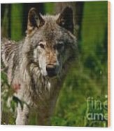Timber Wolf Pictures 266 Wood Print