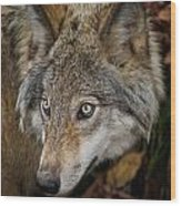 Timber Wolf Pictures 270 Wood Print