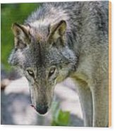 Timber Wolf Pictures 294 Wood Print