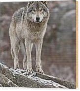 Timber Wolf Pictures 495 Wood Print