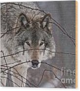 Timber Wolf Pictures 620 Wood Print