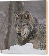 Timber Wolf Pictures 74 Wood Print