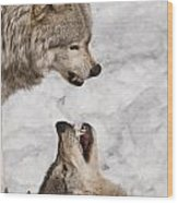 Timber Wolf Pictures 775 Wood Print