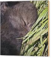 Timber Wolf Pictures 820 Wood Print